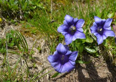fleurs-de-montagne-gentianes
